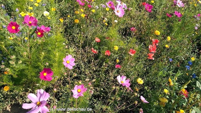 Bunte Samenmischungen freuen nicht nur unser Auge - aber sind sie auch gut fuer Bienen ?